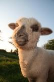 agneau Ferme du Forsdoff Missillac