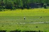 cigognes marais de branducas