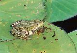 grenouille dans une des mares du marais du Gué neuf