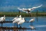 GRP® Tour de Brière - Envol de Spatules blanches sur le marais