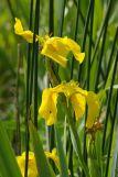 Iris des marais - crédit photo : S-Babonneau