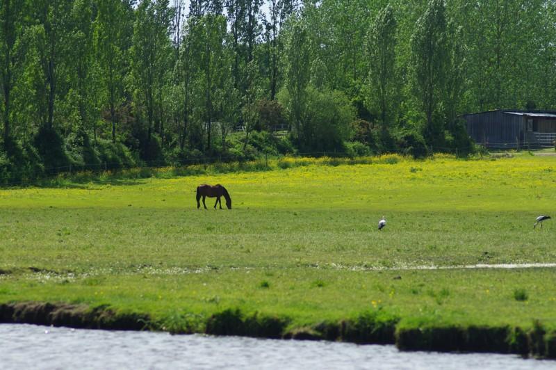 chevaux marais de branducas