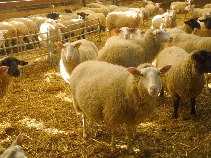 Moutons Ferme de la Mer de l'Isle